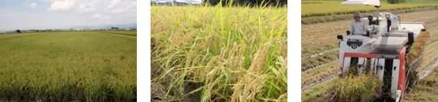 お米栽培風景